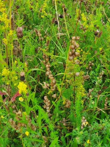 Perennial mix - yellow rattle seed