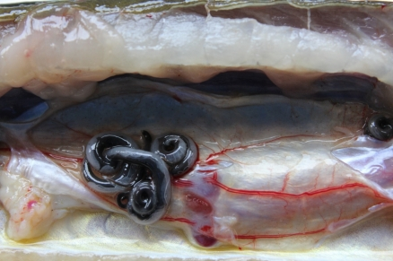 Round worms in the eel swimbladder