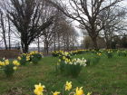 Through the daffodils on Lower Road 2018